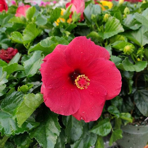 """Tropical Hibiscus Premium 6"""" Assorted Colors"""