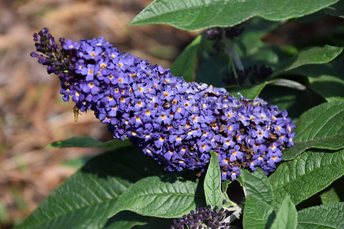 Butterfly Bush 1 Gallon