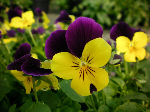 "Viola/Johnny Jump Up- 4"" Pot-Sun"