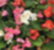 ambassador-begonia-mix-600.jpg