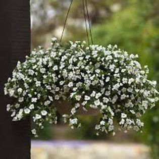 "Bacopa 11"" Hanging Basket"