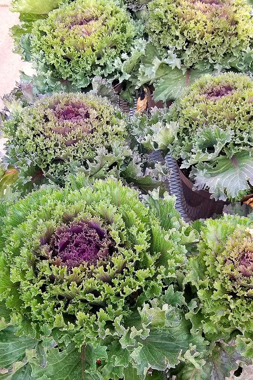 Ornamental  Kale-  2 Gal Pot