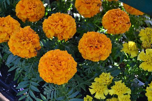 Marigold Annual Bedding Plant Tray-Sun