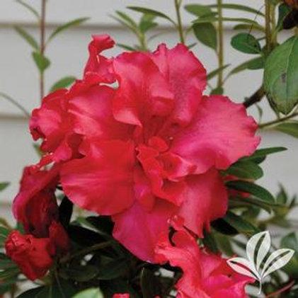Azalea Bloomathon Flowering Shrub- 3 Gallon