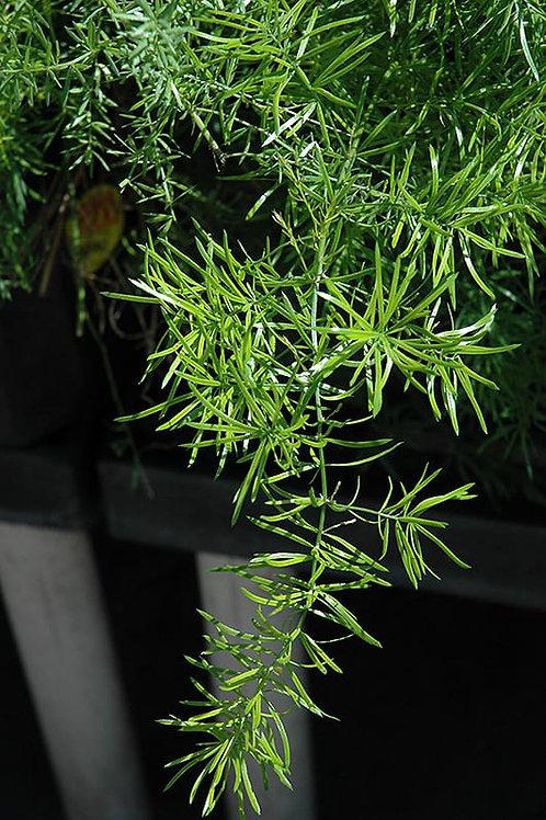 """Asparagus Sperengerii Fern Patio Pot 12"""""""