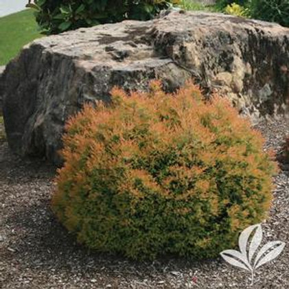 Arborvitae Shrub 1 Gallon