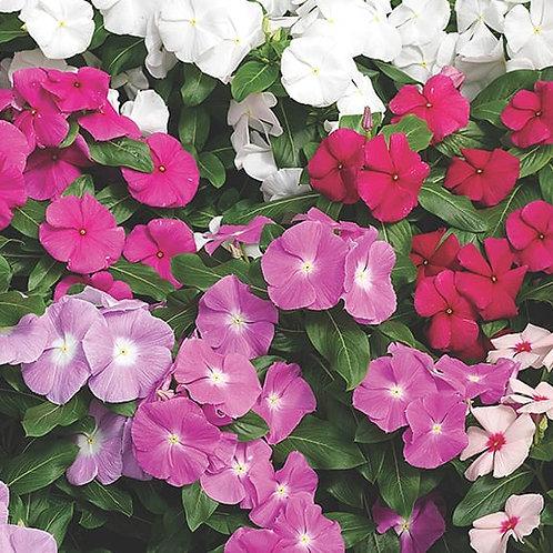 Vinca/Periwinkle Bedding Plant Tray