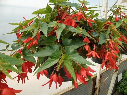 """Begonia Bossa Nova 10/11"""" Hanging Basket"""