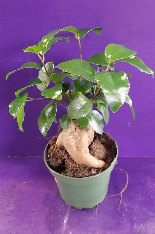 """4"""" Ginsing Ficus Bonsai"""