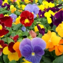 """Pansy- Clear Face- 4"""" Bedding Plant Tray-Sun"""