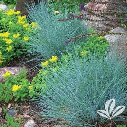 Grasses Assorted -1 Quart Pot -Perennial