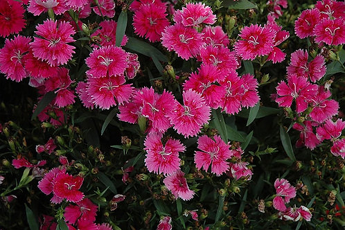 Dianthus Perennial 1 Gallon