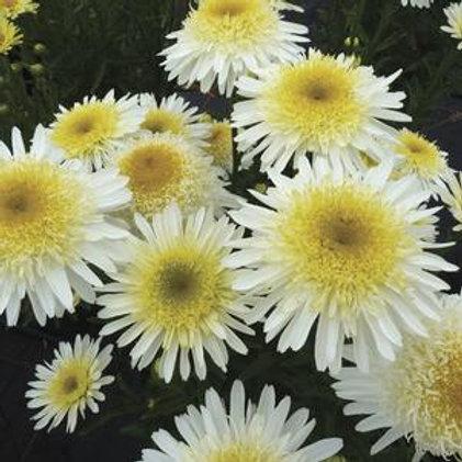 Shasta Daisy Perennial 1 Gallon