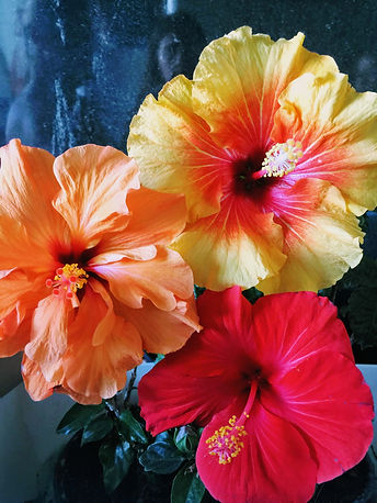 yellow-and-red-hibiscus-flower-on-plant-
