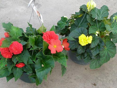 """Begonia Non-Stop 10/11"""" Hanging Basket"""