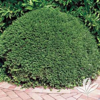 Boxwood Emerald Jewel 3 Gallon
