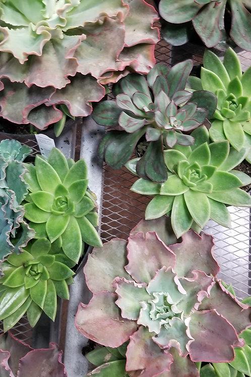 "Succulent Garden Bowl 8"""