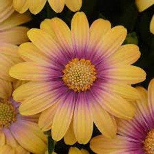 """Osteospermum 4.5"""" /QT Annual Sun"""