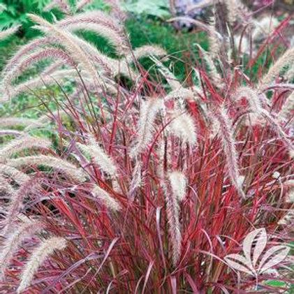 "Purple Fountain Grass 6"""