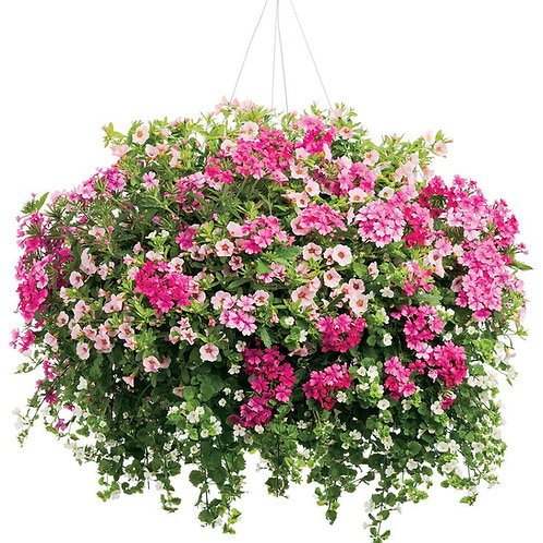 """Combination Annual  12"""" Hanging Basket Premium"""