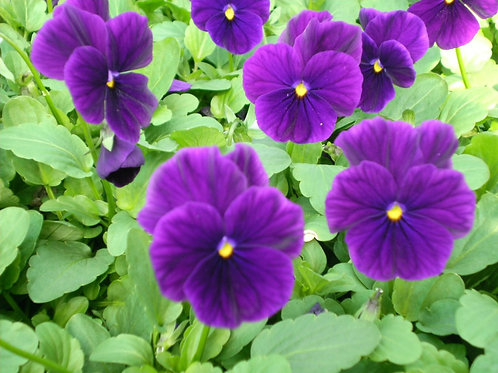 "Viola/Johnny Jump Up- 4.5"" 15 count Bedding Plant Tray"