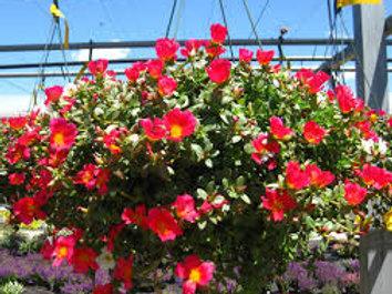 Sun Flowering Hanging Baskets