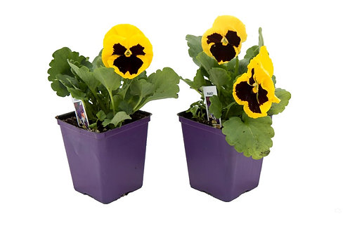 "Pansy- Blotch Face- 4"" pot"