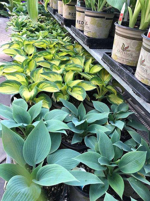 Hosta  Asst. Perennial 1 Gallon