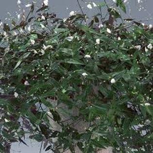 "Bridal Veil 10-11""Hanging Basket"