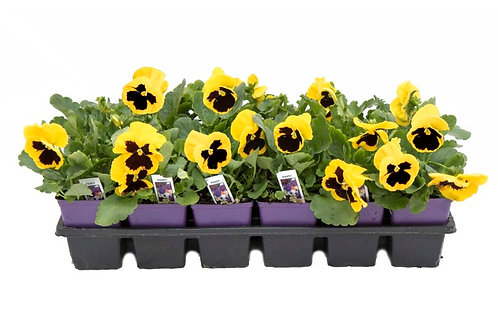 "Pansy- Blotch Face- 4"" Bedding Plant Tray-Sun"