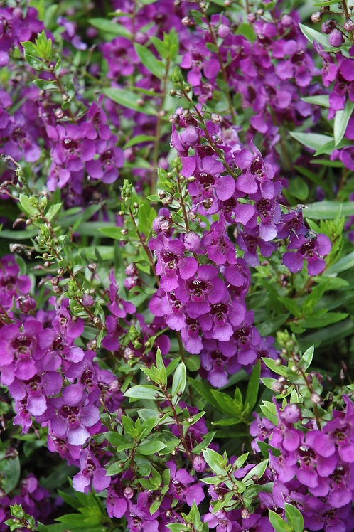 "Angelonia Hanging Basket 11"" Sun"