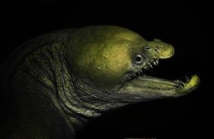 Viper Moray