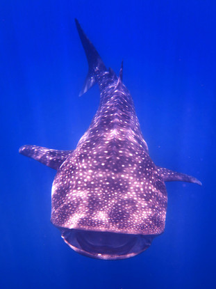 Whale Shark Smiling