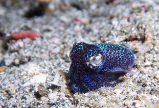 Bobtail Squid - Macro