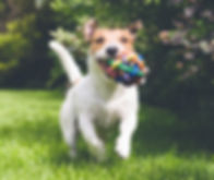 dog running with toy_edited.jpg