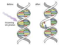 DNA_UV_mutation.svg.png