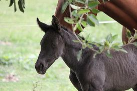 Australian Stock Horse Aromist Amber
