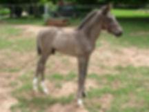 Australian Stock Horses Aromist Athos