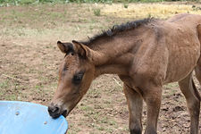 Australian Stock Horse Aromist Venus