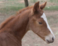 Aromist Stock Horses, Australian Stock Horses, Stock Horses, Athena, Campdrafting, Ophir Abou