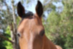 Australian Stock Horses Aromist Sienna