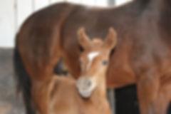 Australian Stock Horses Aromist Amber