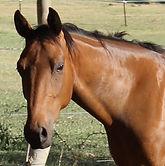 Stock Horse Aromist Sienna