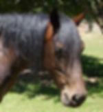 Austtralian Stock Horse