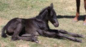 Australian Stock Horses Aromist Thor