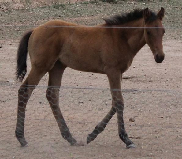 Aromist Stock Horses, Australian Stock Horses, Stock Horses, Xanthus, Campdrafting, Ophir Abou