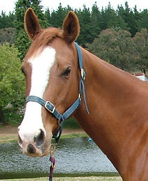Australian Stock Horses Punk Rocker