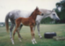 Australian Stock Horses Aromist Splice