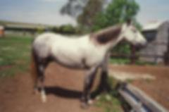 Australian Stock Horses Silbeys Joy
