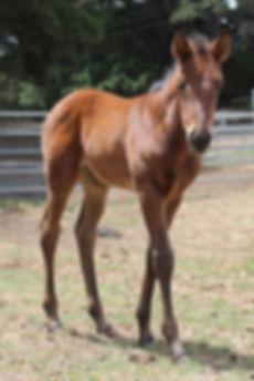 Aromist Stock Horses, Australian Stock Horses, Stock Horses, Freya, Campdrafting, Ophir Abou